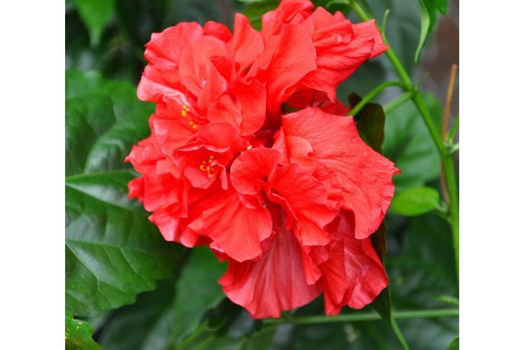 Une fleur d'hibiscus triple