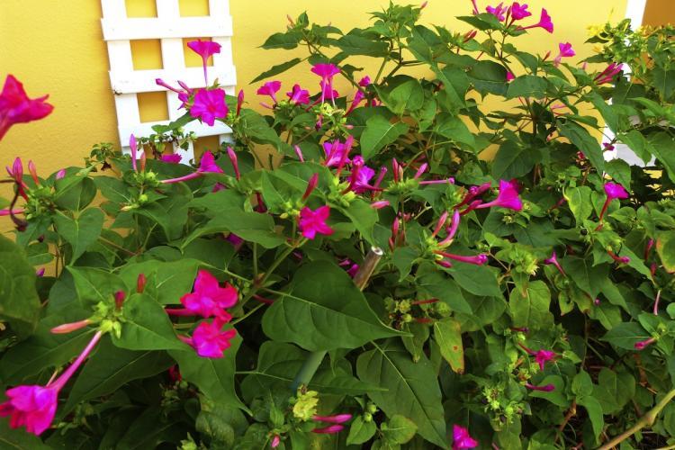 Les fleurs de la belle nuit s'ouvrent à la tombée de la nuit, libérant un parfum délicat.