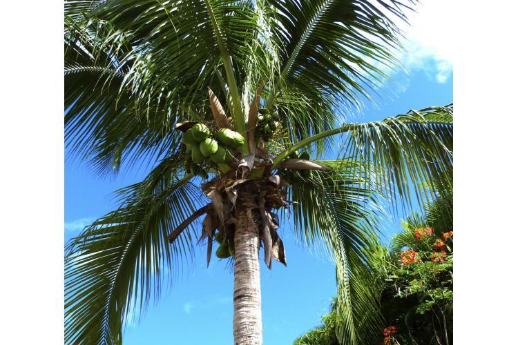 Notre cocotier