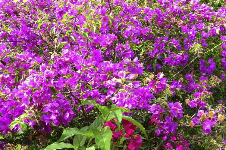 Des fleurs de bougainvilliers