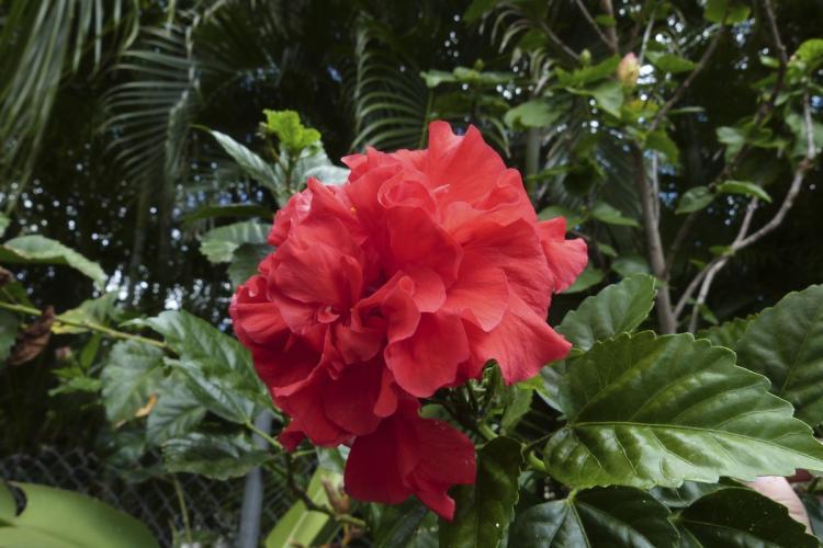 Une fleur d'hibiscus rouge