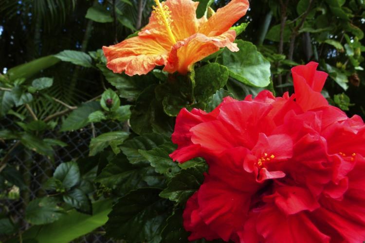 Une fleur d'hibiscus orange