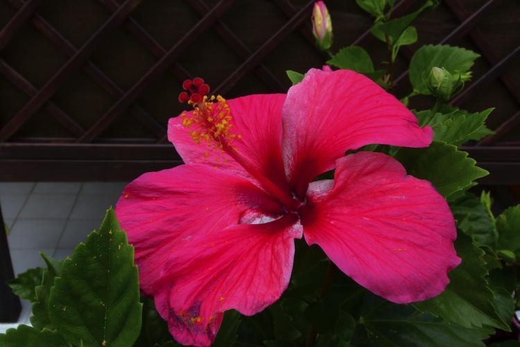 Une fleur d'hibiscus rose