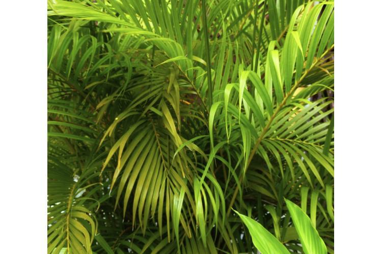 Des feuilles de multipliant