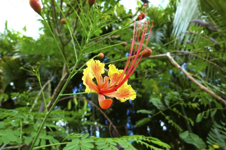 Une fleur de macata ou petit flamboyant