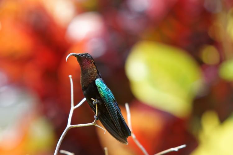 Un colibri enfin au repos dans le jardin de L'Oasis de L'Anse bleue