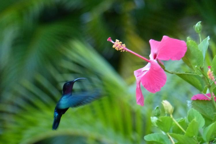 Un colibri près d'une fleur d'hibiscus dans le jardin de L'Oasis de L'Anse bleue.
