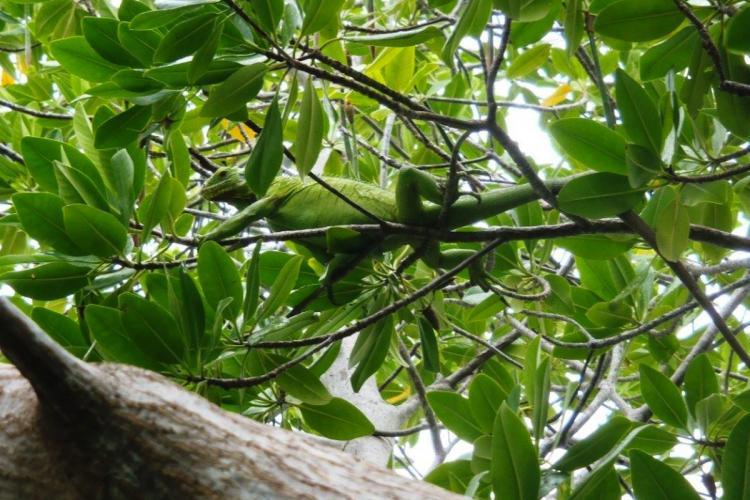 L'iguane est un des rares habitants de l'îlet Chancel (Le Robert)