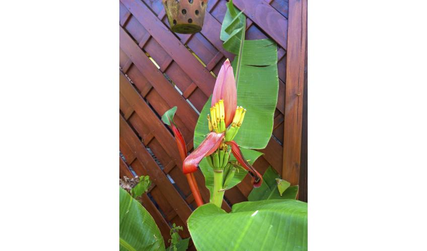 Un bananier fleur côté jardin,