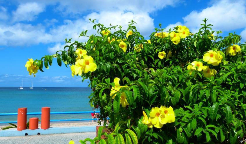 Fleurs d'alamanda dans le bleu de la mer des Anses d'Arlet bourg.