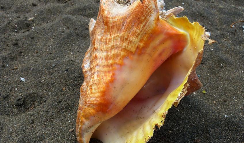 Un lambi. Vous trouverez des coquilles en tas sur la plage. Une fois mangés,les coquillages servent de lest pour les filets de pêche.